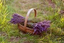 Lavender Fields / by Kaitlyn Morris