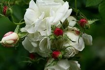 Historische Rosen und Begleitstauden