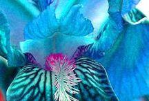 Schwertlilien / Iris