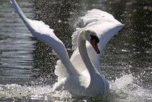 Swan's (f)light