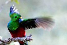 Resplendent Quetzal (The)