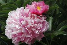 Pink Herbaceous Peonies