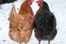 Chickens and Enclosures