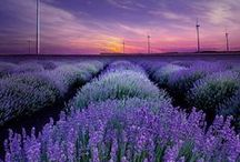 Lavender and Provence