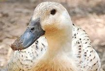 Quack Quack Here (and quack quack there) / Information and tips for raising ducks.