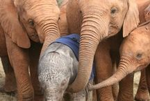 Elephants <3 / If I could be any animal, I would be an elephant because they're most human.