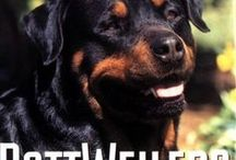 Rottweilers - Best Dogs Ever