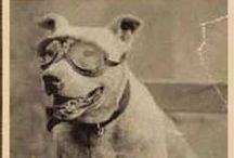 Vintage Pit Bull / www.gamedog.eu