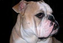 Bulldog - Arturo / Arturo