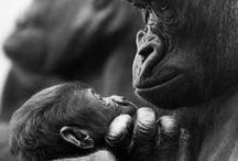 Gorillas e Chimps / animais / by Sirlei Germano