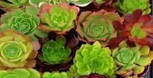 Succulents / Fascinating forms and colours, succulents capture your heart and turn you into an ardent collector before you know it! Choose wisely and provide the right growing conditions - for a glorious collection of low maintenance, hardy plants.