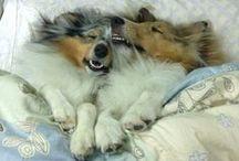 shelties ♥ / Sheltie / Owczarek szetlandzki / The Shetland Sheepdog.  Najwspanialsza i najpiękniejsza rasa psów / The most amazing and beautiful dogs.