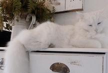 Maine Coon Katten ❤