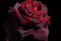 Joko-Moje Ruže
