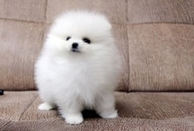 StageCoach Pomeranians / All about #puppies ! / by JanCoast