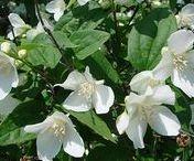 Shrubs, Roses, Hydrangeas,...