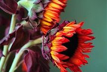 Girasoli -girasoles -sunflowers