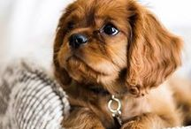 I ♡ Dogs / Adorable dogs. Might be mostly Golden Retrievers (my number one favorite breed), I can't help it #sorrynotsorry. Also other my favorite breeds and well, cute dogs.