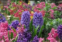 Spring Bulbs / Bulbs bloom early and are a beautiful way to showcase the coming Spring!