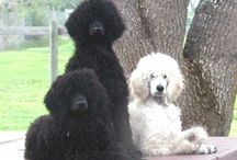 Animals - Poodles & Mixes / by Suzanne Prybutok