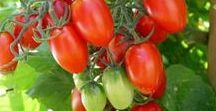 Bella Sole Tomato Farm