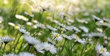 """Cottage at Daisy Meadow / """"Where innocent bright-eyed daisies are...With blades of grass between...Each daisy stands up like a star...Out of a sky of green.""""  ~ Christina Rossetti"""