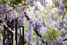 """Wisteria Cottage / """"With wisteria cascading and daffodils in bloom; I set for me, a cup of tea to bring in the afternoon...""""  ~M. H."""
