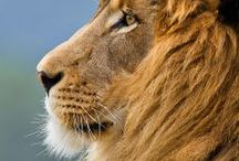 Lions / Post the loveliest, most interesting, cool photos of lions you can find here! But please - keep it to lions. Non-lion pins will be deleted. If you'd like to join this group, message me! If you're a member and you want to invite another pinner, go for it, the more the merrier. #lions