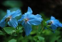 Blue / Its one of the hardest colours to get right in the garden, but when it happens.....