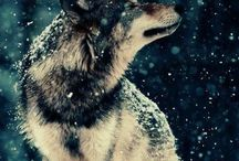 Wolves. Canine lupus.