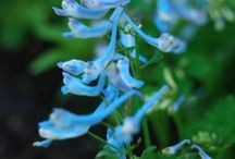 Corydalis / My signature plant