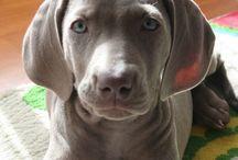 Weimaraner / My beautiful dogs!