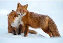 - LARUZE - Fox