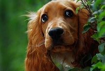 Irish setter (like my Eddie)