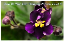2012 African Violet Photo Contest / by Baby Violets