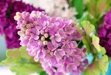Lilac / Orgona / My favourite flower and scent and the queen of spring gardens. / A kedvenc virágom és illatom, a tavaszi kertek királynője.