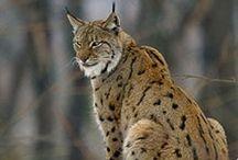 Lynx ❤❤❤