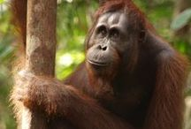 Reisinspiratie Borneo / Neusapen en Orang Oetangs kijken, op bezoek bij de Iban en hiken door de nationale parken.