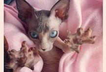 naked beauty / sphynx cats