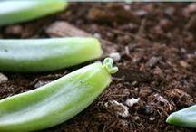 Green.Thumb. / Gardening, planting, plants, indoor plants, outdoor plants, green thumb, beginner gardener, succulents, landscaping