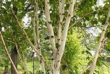 brzozy (betula) / inspiracje brzozowe:)