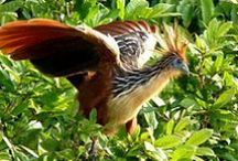 Bird of Suriname