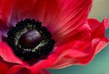 Le coquelicot / Fleur fragile...