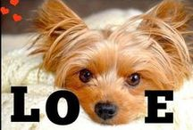 All Things Yorkie / Everything for Yorkshire Terrier lovers!