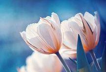 TULIPS / My favorite flower!
