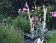 Madness of Verbascum / Verbascum bombyciferum. Following a year in it's crazy life