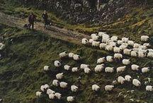 ◣ Sheep ◥