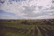 Our vineyards / Images from some of our 75 ha of own vineyards in the Šumadija region of #Serbia