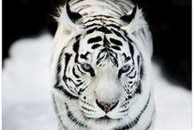 Store kattedyr