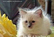 Ragdoll - die ganz besondere Katzenrasse / Die Ragdoll ist eine Katze, die durch ihr Aussehen und ihren besonderen Charakter süchtig macht!